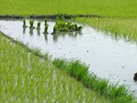 Rice farmer grows crop with 60% less water, awarded