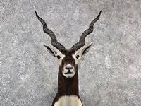 Blackbuck conservation reserve proposed in Chamarajanagar