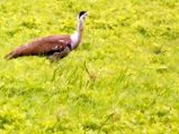 Great Indian Bustard: In greater danger than tiger in country