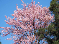 Climate change the villain for late cherry blossoms