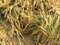 5 farmers die due to 'shock' over crop loss in UP