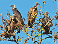 Vultures coming home to roost, rare species sighted