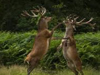 Wildlife Institute of India to relocate endangered 'dancing deer' of Manipur