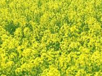 Govt move to allow commercial cultivation of GM mustard faces protest