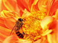 Air pollution hampers bees' ability to forage