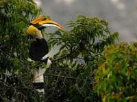 Call to preserve habitat of Great Indian Hornbills in the Nilgiris