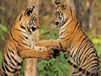 With no human intrusion, tiger population in CTR to go up