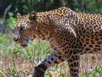 A leopard safari near Dehradun soon