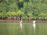 Filling Chimbel's mangroves may lead to future floods