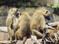 GMC takes firm stand on Guntur's monkey menace