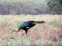 Peacock count goes down, state chalks revival plan