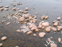 Thousands of fishes found dead in Rewalsar Lake