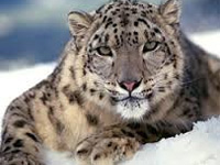 Snow leopard now no longer endangered