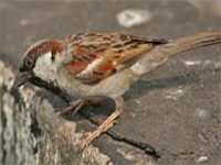 WII study points to presence of house sparrows in state