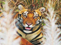 Soon, Sahyadri Tiger Reserve may not have big cats