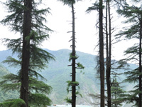 Champawat to move God's court to protect Deodar tree