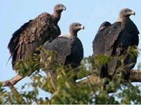 Vulture culture atop coconut palms sends bird numbers soaring