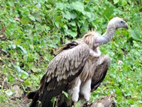 A conservationist working patiently to save vultures in State