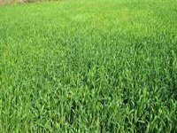 Single variety paddy seeds reason for pest attacks in Odisha: AIKMS