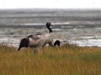 MoEFCC drops its 45-day study period for assessing black-necked crane habitat in Tawang