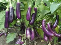 GM crops are safe, commercialise Bt Brinjal: Scientist