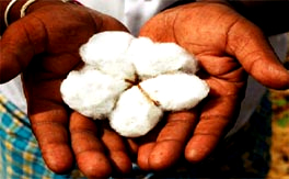 10 years of Bt cotton: false hype and failed promises