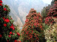 U'khand state flower Burans blooms early, may not be juicy enough, fear experts