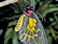 Southern Bird Wing may be state butterfly of Karnataka