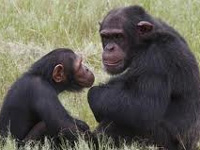 Endangered chimpanzee can disappear in our lifetime