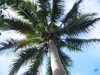 Coconut cannot be State tree: Rajendra Kerkar