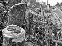 Sandalwood tree cut down in Kondhwa