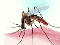 Larvae of mosquito causing dengue found