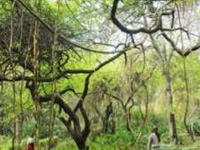Mangar forest home to 6 lakh trees: Report