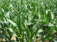 Experts deliberate on genetically modified crops