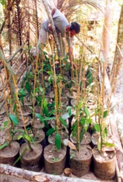 how to grow vanilla beans in india