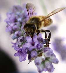 Bee species are missing, pollination on high risk