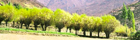 Cloning revives Himachal willows