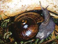 Snail dies in captivity in New Zealand