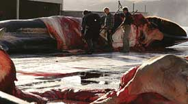 Iceland resumes commercial whaling