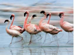 Proposed Tata plant in Tanzania threat to flamingo habitat