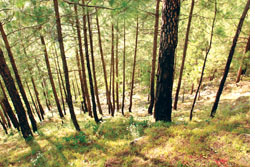 Himachal villagers resist pine monoculture, reclaim forests for fodder