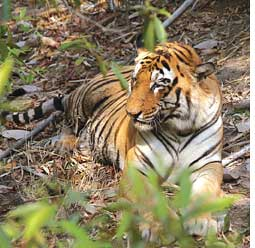 Panna to get two tigresses