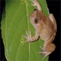 Toad radiation reveals into-India dispersal as a source of endemism in the Western Ghats