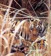 Report on impact of tourism on tigers and other wildlife in Corbett Tiger Reserve