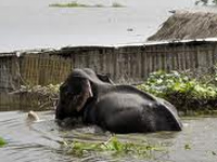 Animals flee flooded Kaziranga park