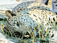93 leopards dead in first two months of 2018