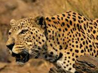 Fight among big cats sign of rising numbers