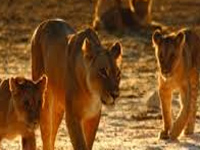 27 missing lions located near Liliya, Krakach