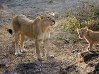 Watering holes: Lion's share for king