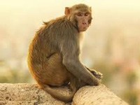 U'khand allocates Rs5 cr to trap, sterilize monkeys